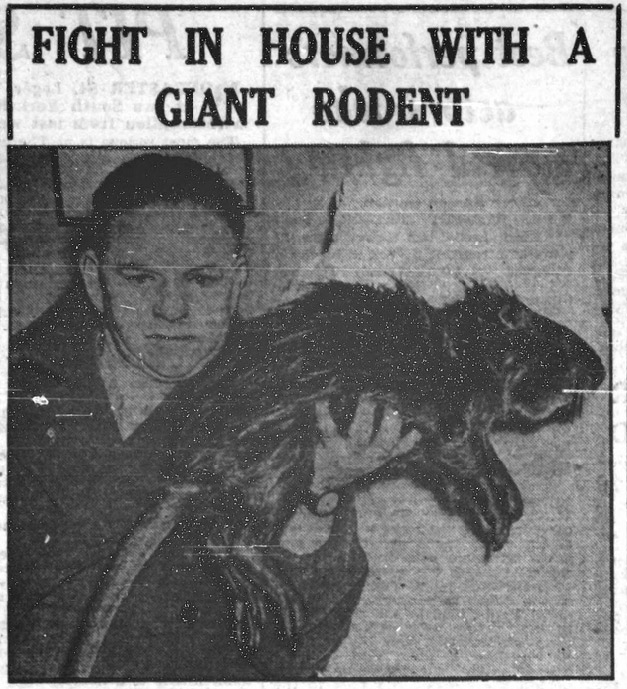 This image of a giant rodent appeared in the Yorkshire Evening Press in 1951.
