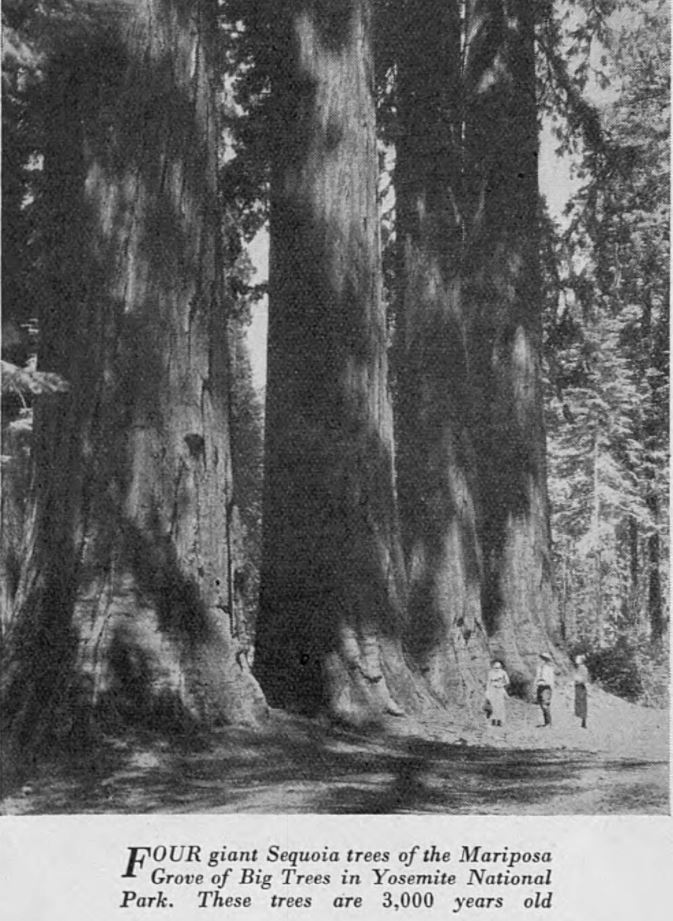 Four giant Sequoia trees of the Mariposa Grove of Big Tress