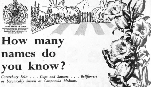 Bellflower in advert, 1956