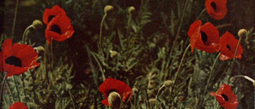 poppies in The Tatler, 1964